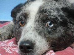 Meet Blue, Needs Foster or Forever Home!, a Petfinder adoptable Australian Cattle Dog (Blue Heeler) Dog | Bolton, ON | Blue,female blue heeler Australian Shepherd mix, 10 months old, medium size 30 lbsThis beautiful...