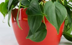 5 Easy Indoor Plants You Can't Kill Red Plants, Inside Plants, Indoor Garden, Indoor Plants, Wholesale Plants, Lucky Plant, Clean Pots, Kairo, House Plant Care