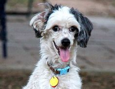 Lukas is an adoptable Chinese Crested Dog Dog in Yorktown, VA. Lukas is a male powderpuff, about 5 years old. He has a neurological issue that causes him to walk in a different way from other dogs. He...