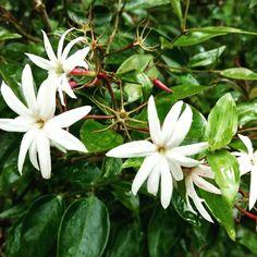 Bom dia! Um lindo jasmim-dos-poetas (Jasminum polyanthum)! Morning! A beautiful Jasmine #flower #flowers #flowering #naturephotography #brazil #brasil #flor #flores #fotografia #photos #photographylovers #pics #picoftheday #linda #cheiro #smell #amor #love #jasmine #jasmim