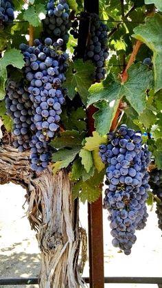 to love & to cherish: Photo Growing Zones Map, Art Du Vin, Grape Trellis, Wine Vineyards, Fruits Images, Fruit Photography, Growing Grapes, Wine Art, Organic Herbs