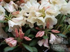 RHODODENDRON 'Grumpy'  - All pictures are for illustrative purposes only. The actual condition of individual plants may of course vary depending on the time of the year, the weather and growing conditions at that time.