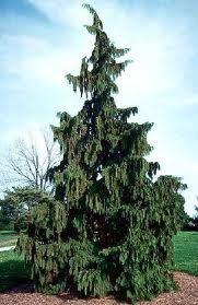 "Alaskan Cedar Tree- or what I call a ""sad tree""...want one in my back yard!"