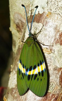 Zygaenid Day-Flying Moth