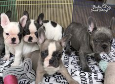 """""""Gremmy's puppies are getting so big"""" www.PoeticFrenchBulldogs.com French Bulldog Puppies for sale: • Health certificate from our vet • Shots up to date • One year health guarantee Please visit site for more info 