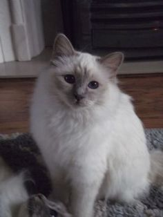 Lilac-point Birman. My sister has one like this named Sugar.