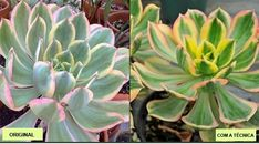 How to Stress Succulents Don't you just love colorful succulents? Last week, I took an in-depth look at how and why stress causes succulents to change color. Propagating Succulents, Succulent Gardening, Planting Succulents, Container Gardening, Garden Plants, Succulent Plants, Bean Plant, California Garden, Colorful Succulents
