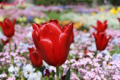 tulips in lausanne    www.thewayiseeitphoto.com