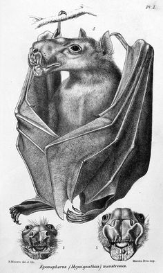 With Halloween a week away we thought it was time to feature some scary images. Is this bat creepy enough for you? We like that the second word of its Latin name is 'monstrosus'. Seems appropriate. From: Catalogue of the Chiroptera in the Collection...