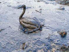 Oil Spill, California Coast, Concrete Jungle, Environmental Issues, Sea Birds, Animal Welfare, Fuel Economy, Habitats, Drill
