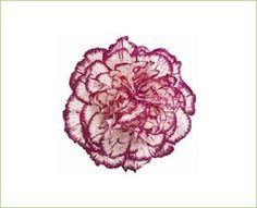 Isola Carnations