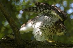 One more of the Cooper's Hawk as a juvenile.  Georgous!!
