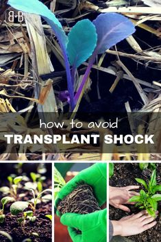 Whether you've raised your seedlings from seed, or you purchased them at your local garden center, transplanting seedlings can feel scary. Here are some tips to help avoid seedling transplant shock, along with a recipe for a homema Growing Tomatoes From Seed, Growing Tomato Plants, Varieties Of Tomatoes, Tomato Seedlings, Growing Tomatoes In Containers, Growing Seeds, Grow Tomatoes, Baby Tomatoes, Cherry Tomatoes