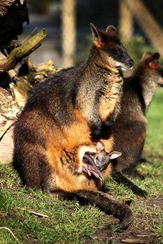 Wallaby with Pouch Infant