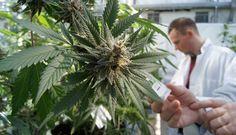 Canadian Medical Cannabis Producer Exports to Croatia #HighFinanceReport