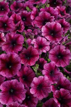 CELEBRITY PLUM ICE Petunia Seeds - Best Wet Tolerance, High Quality & Germination, Fresh Seed, Strong Color (30 - 35 seeds)