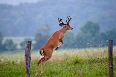 White tail deer in the Great Smoky Mountains. Trophy Hunting, Elk Hunting, Deer Pictures, Deer Pics, Animal Pictures, Gatlinburg Cabin Rentals, Deer Family, Cades Cove, Smoky Mountain National Park