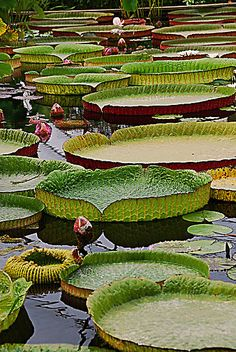 Giant lily pad pond