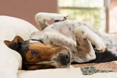 Los dueños de un perro comparten un mismo miedo, que su casa tenga un mal olor. Así que te vamos a contar cómo eliminar el olor a perro de tu casa de forma sencilla con algunos consejos.