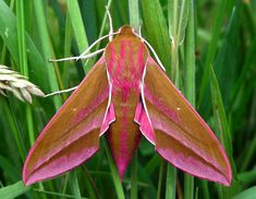 elephant hawk moth - on our greenhouse