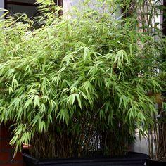 Le Bambou, traçant ou non-traçant, nain ou géant est une plante très appréciée. Découvrez nos conseils pour planter vos bambous mais aussi bien les tailler et les entretenir, en pot ou au jardin.