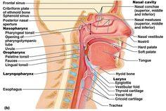 upper respiratory diagram   Anatomy Of The Upper Respiratory System - Human Anatomy Library