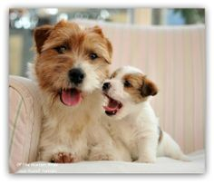 Love my Jacks! Cute Dogs And Puppies, I Love Dogs, Parsons Terrier, Jack Russell Puppies, Parson Russell Terrier, Jack Russells, Pet Paws, Cute Funny Animals, Best Dogs