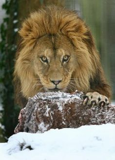 Milo, a Barbary Lion, tucks into his Lunch in his snowy enclosure at Port Lympne Wild Animal Park near Hythe in Kent