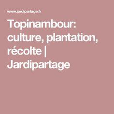 Topinambour: culture, plantation, récolte | Jardipartage