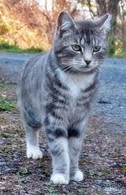 Grey Tabby - looks like my sister's cat Prudence