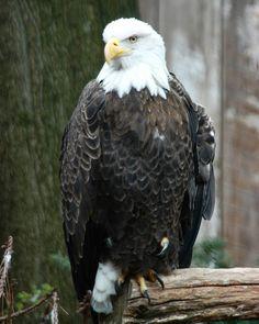Photo taken at the Pittsburgh Aviary. #eagle #aviary #photography #wildlife