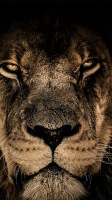 African Lion Face Closeup HD Animals Wallpapers Photos and Pictures Look Wallpaper, Tier Wallpaper, Animal Wallpaper, Lion Hd Wallpaper, Wallpaper Lockscreen, Wallpaper Backgrounds, Apple Wallpaper Iphone, Wallpaper Pictures, Iphone Wallpapers