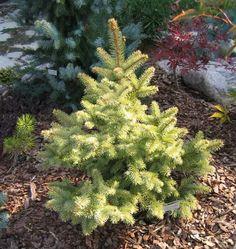 Picea pungens 'Lutea'