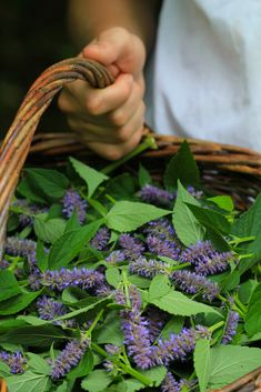 7 Medicinal Herbs for Urban Gardens: Anise Hyssop
