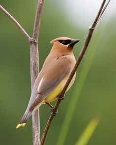 Saw a cedar #waxwing like this outside the break room window.  Such a cool little #superhero mask - what a fabulous #bird!
