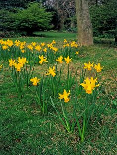 Naturalized Daffodils Give Woodland Effect