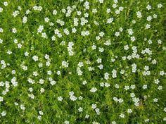 Begehbare Bodendecker - das Sternmoos im Garten statt Rasen verwenden