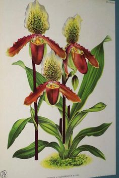 Lindenia Orchid Print Limit Edition Cypripedium Glonerianum Paphiopedium Art B5      $15.31