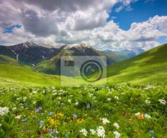 Stock photo of Fields of flowers in the mountains. Georgia, Svaneti. 58548487 - image 58548487