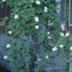 American wisteria. Latin name: Wisteria frutescens. Zones 6-9. Read more here http://www.finegardening.com/plantguide/wisteria-frutescens-american-wisteria.aspx