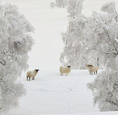 Winter *❄️~*.Wishes & Dreams.*~❄️* Flocks in silent white fields . . .