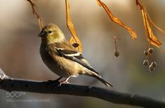 Goldfinch by ikord via http://ift.tt/2foQcQx
