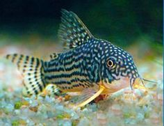 Sterba's or Sterbai Cory Catfish Corydoras sterbai | Cory Cat Aquarium Fish | Arizona Aquatic Gardens
