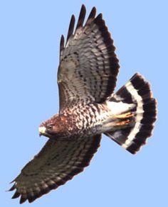broad winged hawk seen October 2014 in Cumberland, RI Common Buzzard, Largest Bird Of Prey, October 25, Birds Of Prey, Raptors, Falcons, Hawks, Old World, Eagle