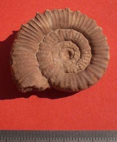 Collina Gemma Toarcian Prov Burano Pesaro Italy uploaded in Ammonites: Collina Gemma Toarcian Prov Burano Pesaro Italy