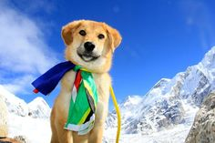 Rupee is the first dog to climb Mt. Everest. He is also a #rescue :)