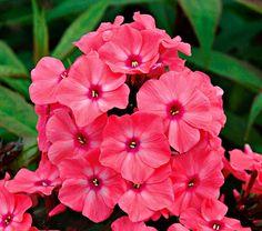 Phlox Candy Store® Coral Creme Drop - White Flower Farm