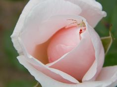 rosa rosa con huésped!