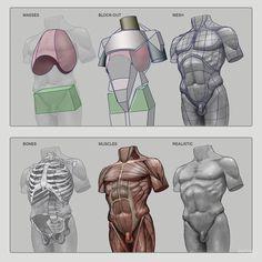 Anatomy Next - Anatomy - anatomy, key features, and proportion mesurements