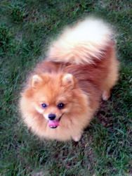 Bo Diddy is an adopted Pomeranian Dog in Indianapolis, IN. Hi! My name is Bo, I am a pure bred, well bred, Pomeranian! I am a bit of a shy guy at first. I am only 9 months old and weight about 5 pound...